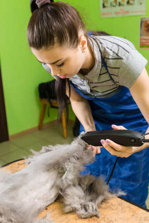 Cat grooming in pet beauty salon. The wizard uses the trimmer clipper cat.