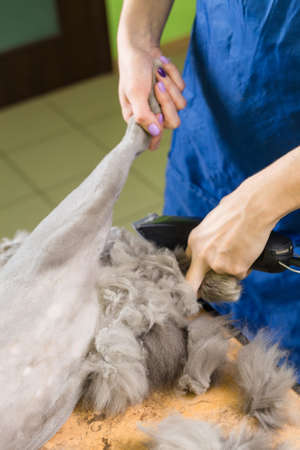 cat grooming: Cat grooming in pet beauty salon. The wizard uses the trimmer clipper cat.
