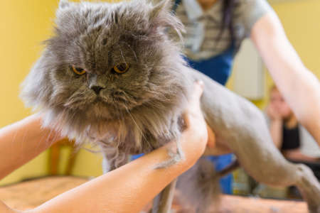 cat grooming: Cat grooming in pet beauty salon. The wizard uses the scissors for trimming paws. Stock Photo