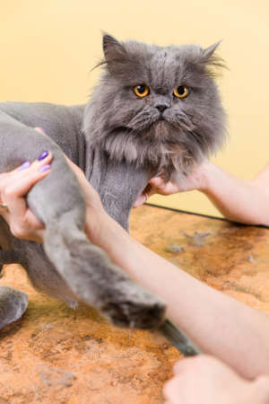Cat grooming in pet beauty salon. The wizard uses the scissors for trimming paws. Stock Photo