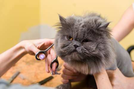 barber: Cat grooming in pet beauty salon. The wizard uses the scissors for trimming the face.