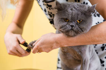 cat grooming: Cat grooming in pet beauty salon. The wizard uses the special cutters for trimming claws.