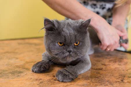 barber: Cat grooming in pet beauty salon. The wizard uses the special cutters for trimming claws.