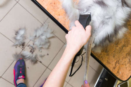 uses: Cat grooming in pet beauty salon. The wizard uses the trimmer for trimming body. Stock Photo