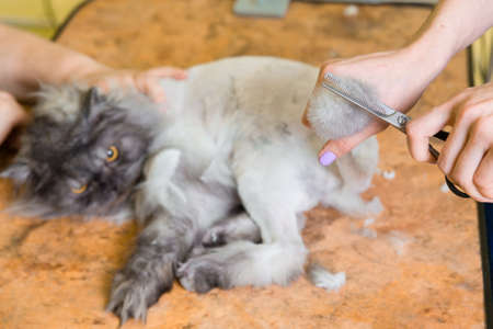 Cat grooming in pet beauty salon. The wizard uses the scissors for trimming tail.