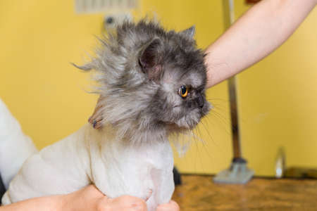 barber: Cat grooming in pet beauty salon. The wizard uses the trimmer for trimming the cat face.