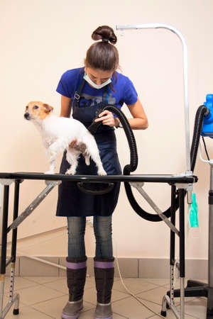 hair stylist: The groomer uses a hair dryer to dry dog. Grooming the hair of Jack Russel Terrier.
