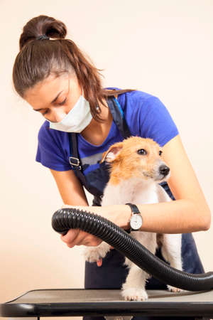 dog grooming: The groomer uses a hair dryer to dry dog. Grooming the hair of Jack Russel Terrier.