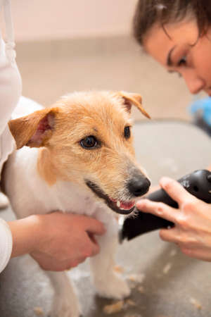 coif: Hairdresser mows fur on the paws of Jack Russell Terrier with a trimmer