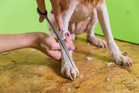 Hairdresser mows fur on the paws of Fox Terrier with a scissors