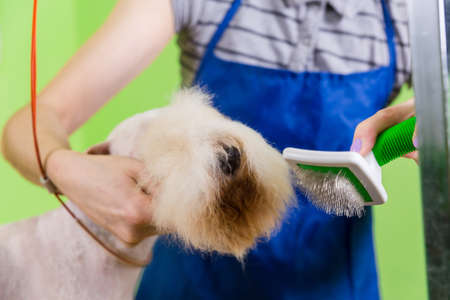 dog grooming: Combing hair brush on the dogs face. Fox terrier getting his hair cut at the groomer.