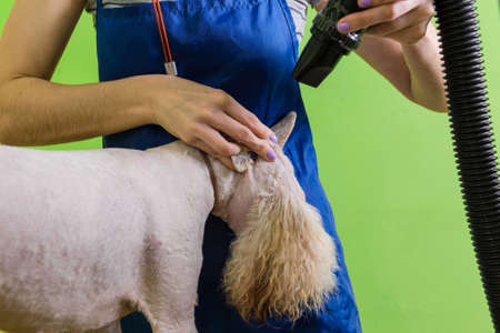 The groomer uses a hair dryer to dry dog. Grooming the hair of Fox Terrier.