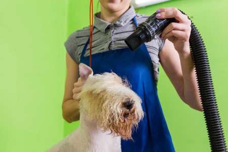 Grooming the hair of Fox Terrier.