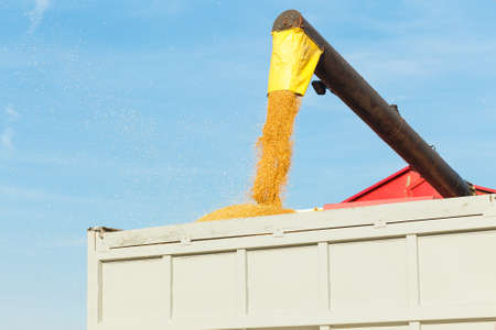 Harvesting is the process of gathering a ripe crop from the fields Stock Photo