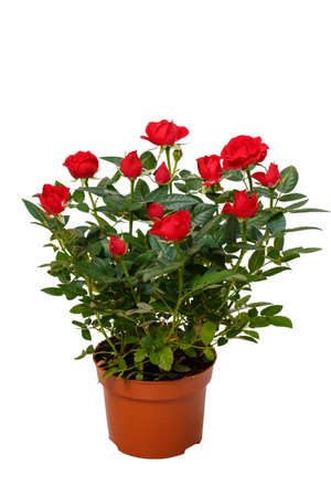 Red decorative roses in flowerpot isolated on white background. Stock Photo - 94892992