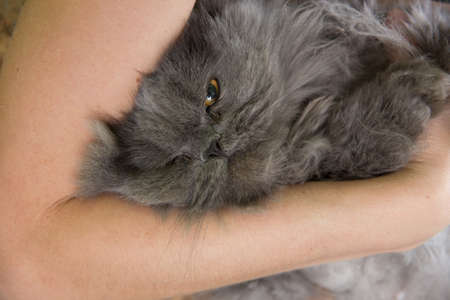 Persian cat waiting for shearing in the beauty salon for the animals. The cat is afraid and angry.
