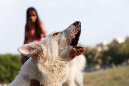 angry aggressive barking swiss shepherd dog bites protects training