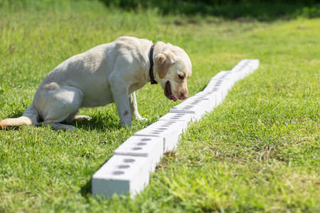 White Labrador Retriever sniffs a row of containers in search of one with a hidden object. The dog sits down and freezes to tell the owner that it has found the object. Training to train service dogs for the police, customs or border service. Standard-Bild