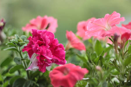 Red annual blooming flowers on the balcony overlooking the street. Blooming petunia. Banco de Imagens