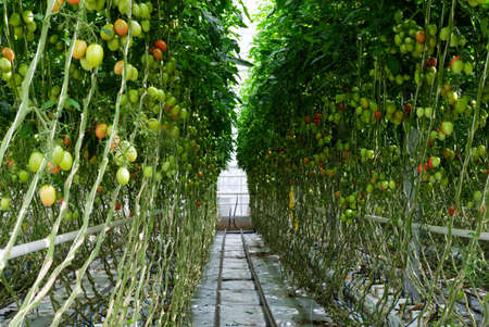 Growing tomatoes in a hydroponic greenhouse with natural light. Green tomato leaves with growing fruit