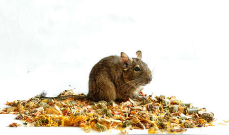 Rat degu sits on the crumbled stern , banner with space for text Stock fotó