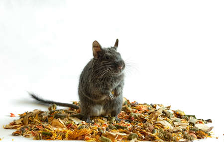 Blue degu stands on the hind legs in an interesting pose, banner with space for text