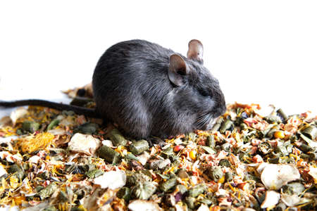 Rat blue degu sits on the crumbled stern , banner with space for text