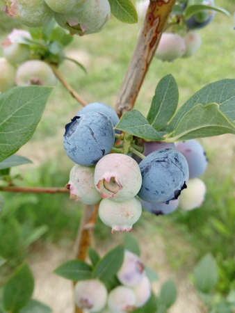 Breast berries blue delicious blueberries on a branch, healthy berries with lots of vitamins