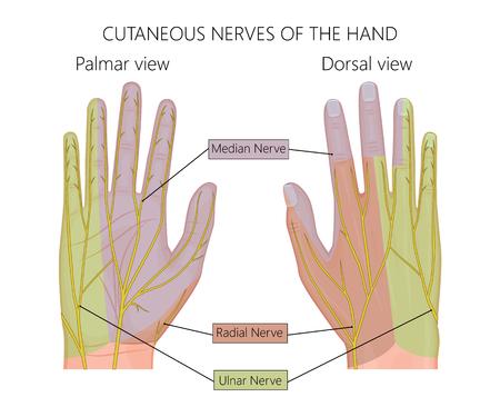 Illustratie van Kutane zenuwen van de menselijke hand. Gebruikt: gradiënt, transparantie.
