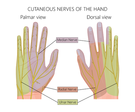 nerve damage: Illustration of Cutaneous nerves of the human hand. Used: gradient, transparency.