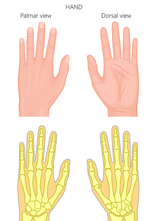 Illustration of External and skeletal view of hand. Palm and dorsal view.