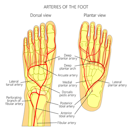 Arteries of the foot (dorsal and plantar view of an ankle). diagram.