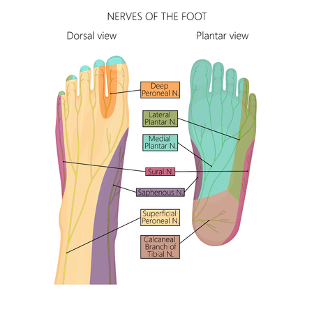 Vector illustration (diagram) of the nerves and cutaneous innervation of the human foot (with palmar and dorsal view). Used transparency. Stock Illustratie