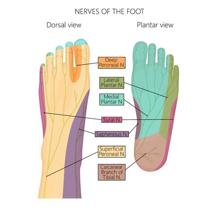 Vector illustratie (diagram) van de zenuwen en cutane innervatie van de menselijke voet (met palmaire en dorsale weergave). Gebruikte transparantie. Stock Illustratie