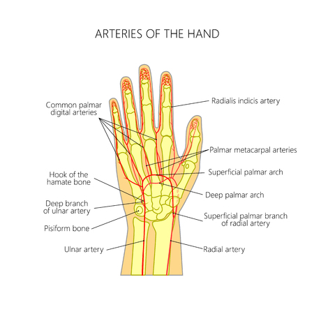 Diagram of The arteries to the palmar side of the human hand (the scheme). Vettoriali