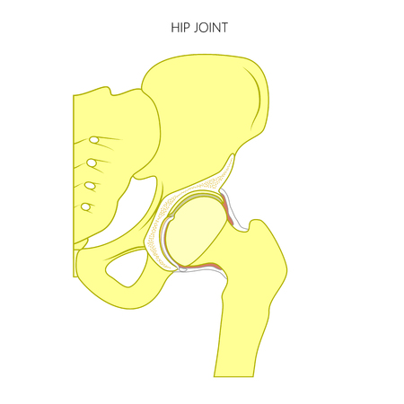 Healthy hip joint illustration. Illustration