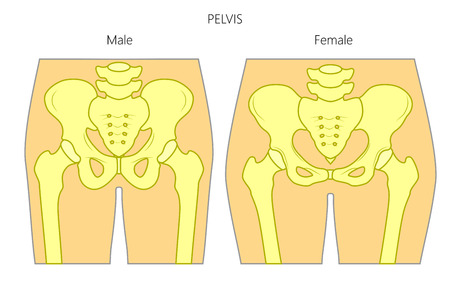 Healthy human pelvis illustration. Illustration