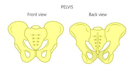 Healthy pelvis illustration.