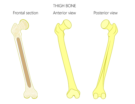 osteoarthritis: Healthy thigh bones illustration.