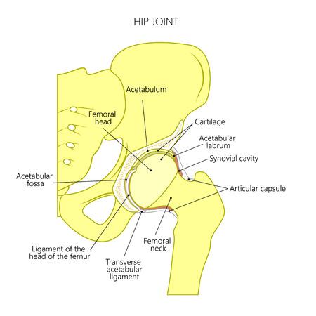 Vector Illustrationsanatomie eines gesunden menschlichen Hüftgelenks, das auf weißem Hintergrund lokalisiert wird. Frontalschnitt des Beckens. Für Werbung und andere medizinische Publikationen.