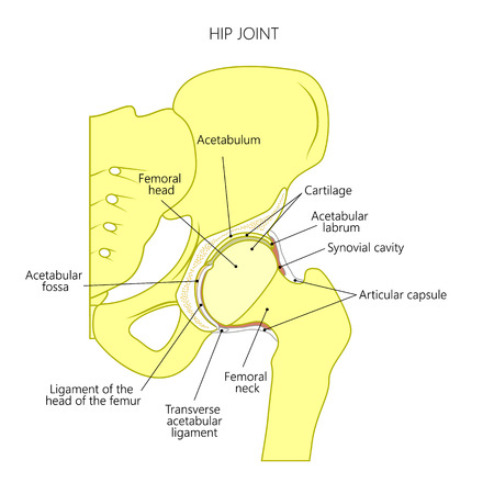 Vector illustration anatomy of a healthy human hip joint isolated on white background. Frontal section of the pelvis. For advertising and other medical publications.