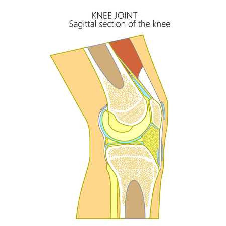 Vector illustration of a healthy human knee joint . Anatomy of the sagittal section of a knee, side view.  For advertising, medical publications. EPS 8.