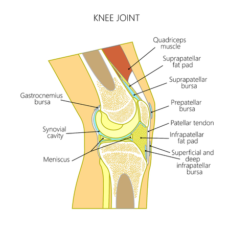 Vector illustration of a healthy knee joint . Anatomy of the human knee, side view.  For advertising, medical publications. EPS 10.