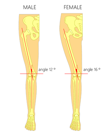 Vector illustration anatomy of a healthy human male and female knee joint with Q angle between femur and tibia. Anterior or front view of the leg. For advertising or medical publications. EPS 10.