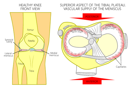 Vector illustration. Front view of a healthy human knee, anatomy of a proximal surface of tibial plateau with soft tissues and blood supply of meniscus. For advertising, medical publications. EPS 8.