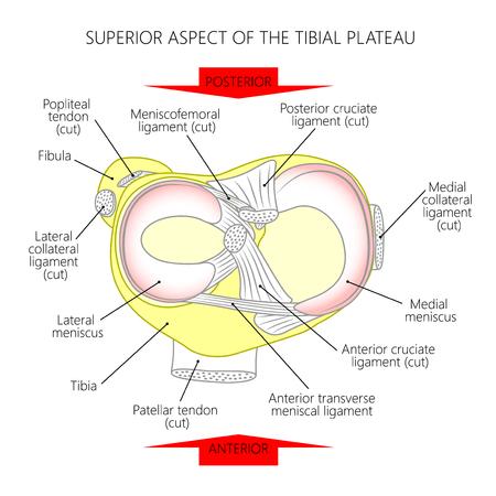 Ilustración Vectorial De Una Superficie Proximal De La Tibia En Una ...