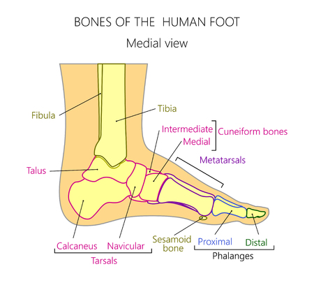 Vector illustration of a human leg with denominations of the bones of the foot. Anatomy of medial or side view of  the foot. For advertising or medical publications. EPS 10. Illustration