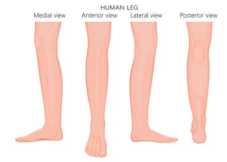 Różne widoki, boki nogi ludzkiej (tylna, przednia, przednia, tylna, boczna, boczna, przyśrodkowa) z kostką i kolanem. Ilustracja wektorowa na reklamy, publikacje medyczne (opieka zdrowotna). EPS 8.