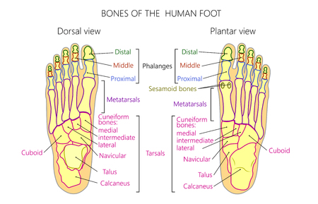 Vector illustration of a human leg with denominations of the bones of the foot for medical publication