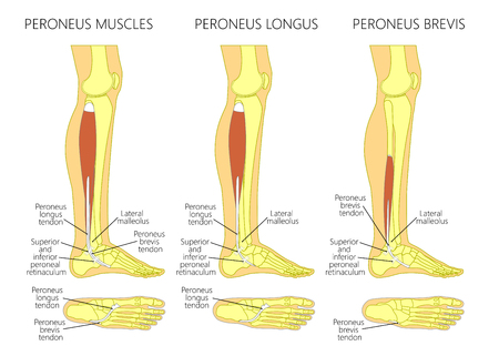 Vector illustration of peroneus longus and peroneus brevis muscle. Lateral view of human leg and ankle and bottom or plantar view of the foot. Illustration